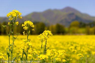 菜の花畑と南昌山