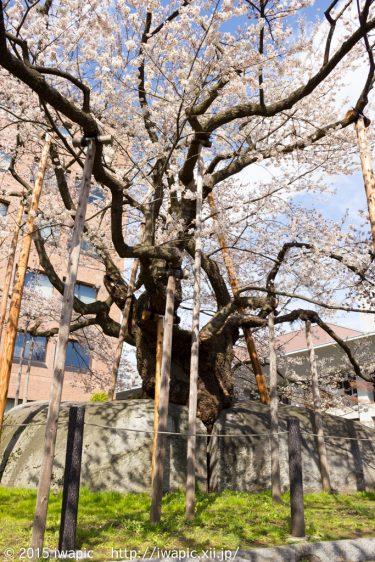 石割桜(2013)