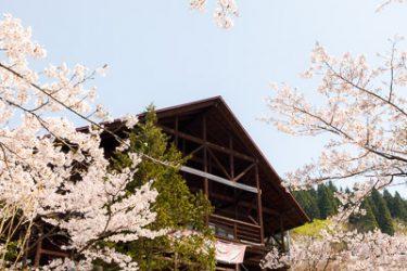 平泉町 西行桜の森の桜