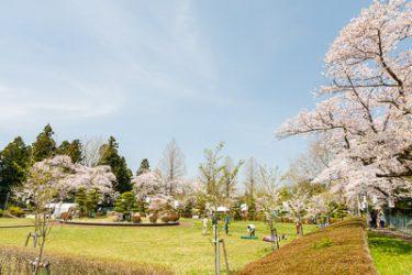 奥州市前沢区 お物見公園の桜