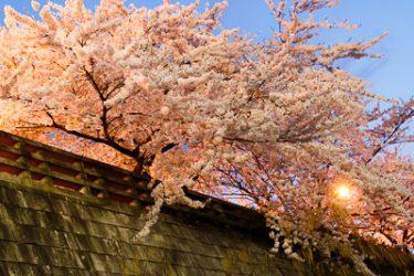盛岡市・夕顔瀬橋の桜