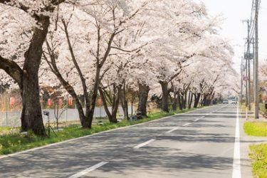 奥州市・桜の回廊(国道397号線の桜並木)