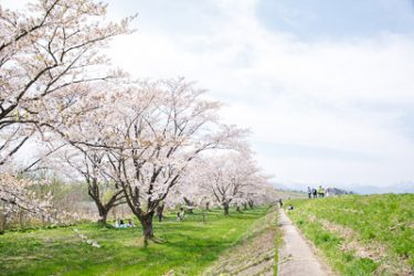 雫石町・雫石川園地の桜並木