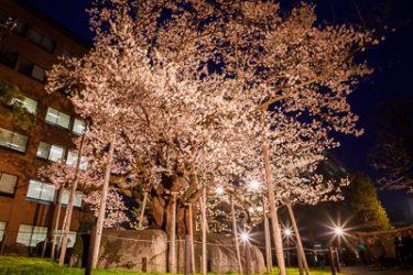 盛岡市・石割桜の夜桜