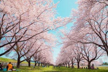 奥州市 水沢競馬場の桜並木
